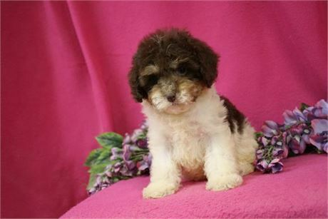 "Toy Cockapoo Female Chocolate Tri Color Parti $1500, ""CLICK PIC FOR INFO"" 0023"