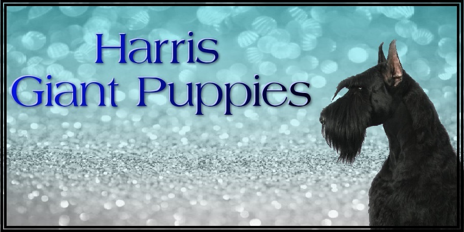 "Denisa Harris Current Giant Schnauzer Litter:  ""CLICK PIC FOR INFO"" 00016"