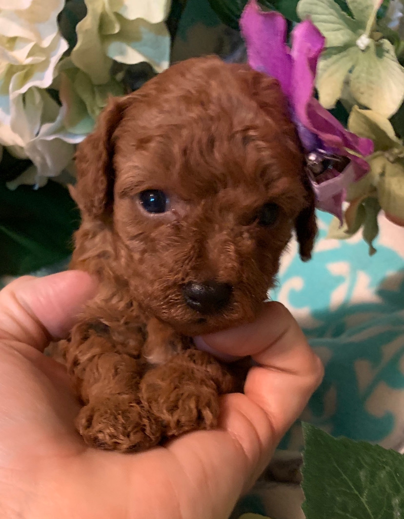 "Toy Poodle: Pippa's Litter, Tiny Red Girl  ""Click Pick For Info"" 00025"