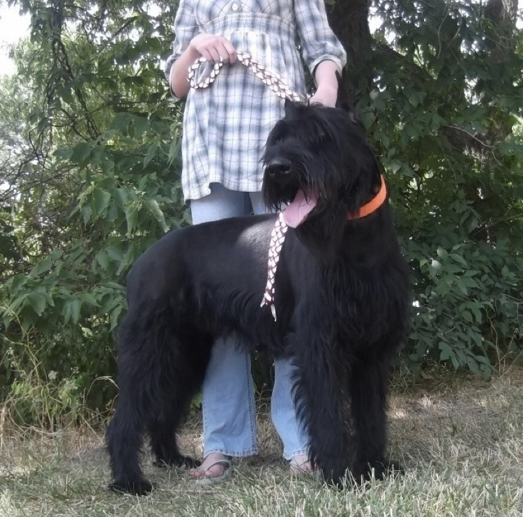 "Stud Services: Champion Giant Schnauzer Studs: ""CLICK PIC FOR INFO"""