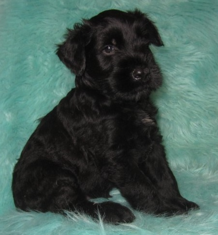 """Giant Schnauzers: Pearl's Current Litter,  """"CLICK PIC FOR INFO"""" 9009"""