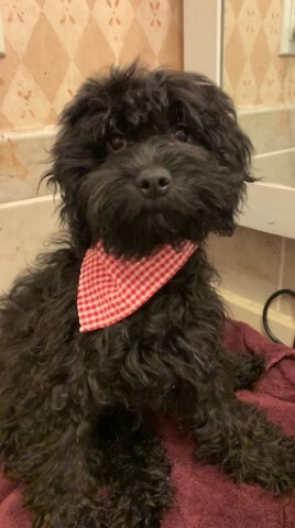 """Small Cavapoo Male Puppy NOW ONLY $300. """"CLICK PIC FOR INFO"""" 665d"""