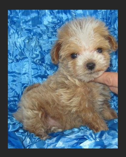 """Super Tiny Maltipoo Male Puppy, """"CLICK PIC FOR INFO"""" 00010"""
