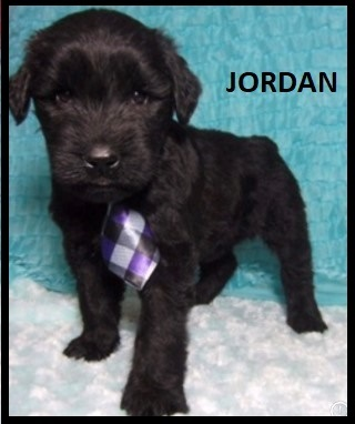 """Giant Schnauzers, Bella X CH Barbosa's Litter: """"CLICK PIC FOR INFO"""" 001"""