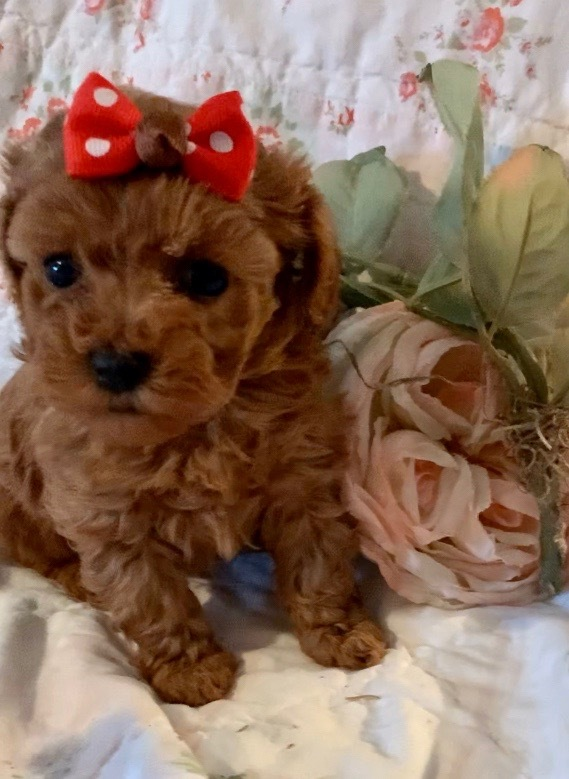 "Tiny Red Poodle Female Puppy,  ""CLICK PIC FOR INFO"" 66"