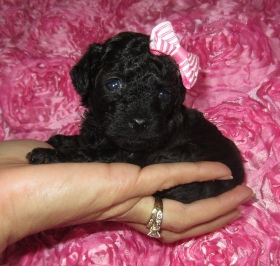 """Tiny Sable Poodle Girl """"CLICK PIC FOR INFO"""" 777"""