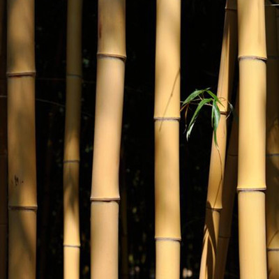 Phyllostachys bambousoides Holocrysa 200 cm