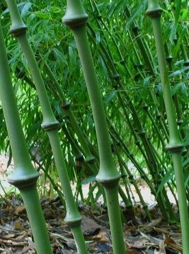 Chimonobambusa tumidissinoda