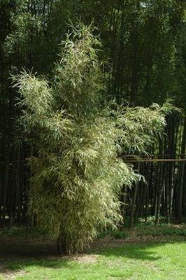 Pleioblastus simonii heterophyllus
