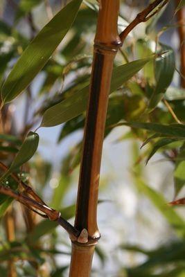 Phyllostachys megurochiku