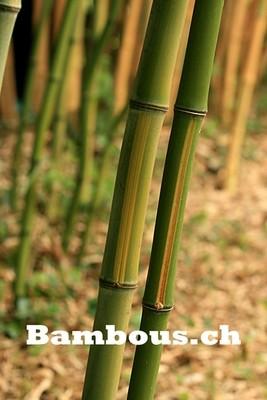 Phyllostachys bambousoïde castillonis inversa