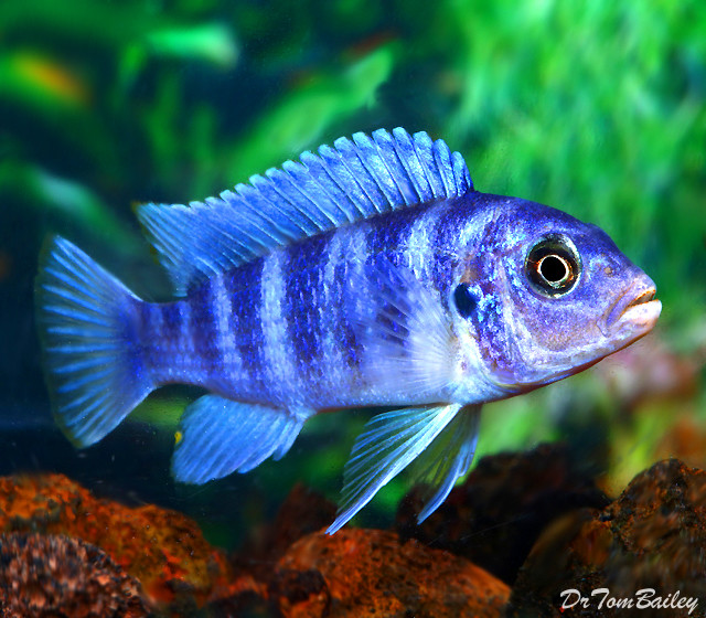 "Premium Kenyi Mbuna Cichlid from Lake Malawi, 1.5"" to 2"" long"