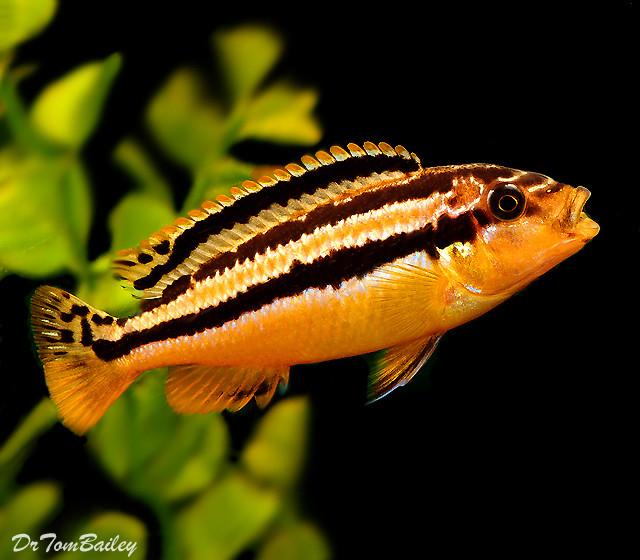 "Premium Malawi Melanochromis Auratus Mbuna Cichlid, 1.5"" to 2"" long"