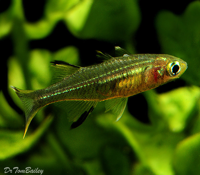 "Premium Celebes Rainbow, 1"" to 1.2"" long"