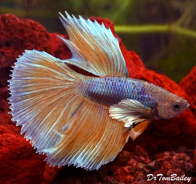 Premium Assorted Dumbo Ear Halfmoon Male Betta Fish, 2