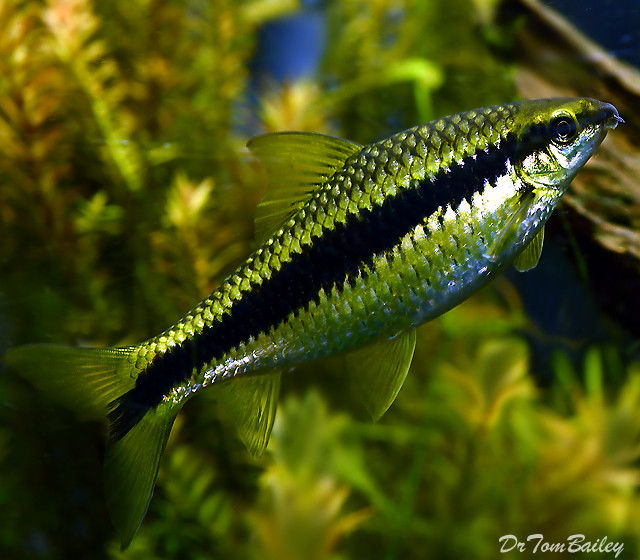 Premium Siamese Algae Eater, Crossocheilus atrilimes, 3