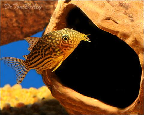Premium Sterbai Corydoras Catfish, 1