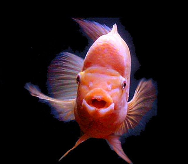 "Premium Red Devil Cichlid, 4"" to 4.5"" long, nice size now and growing"