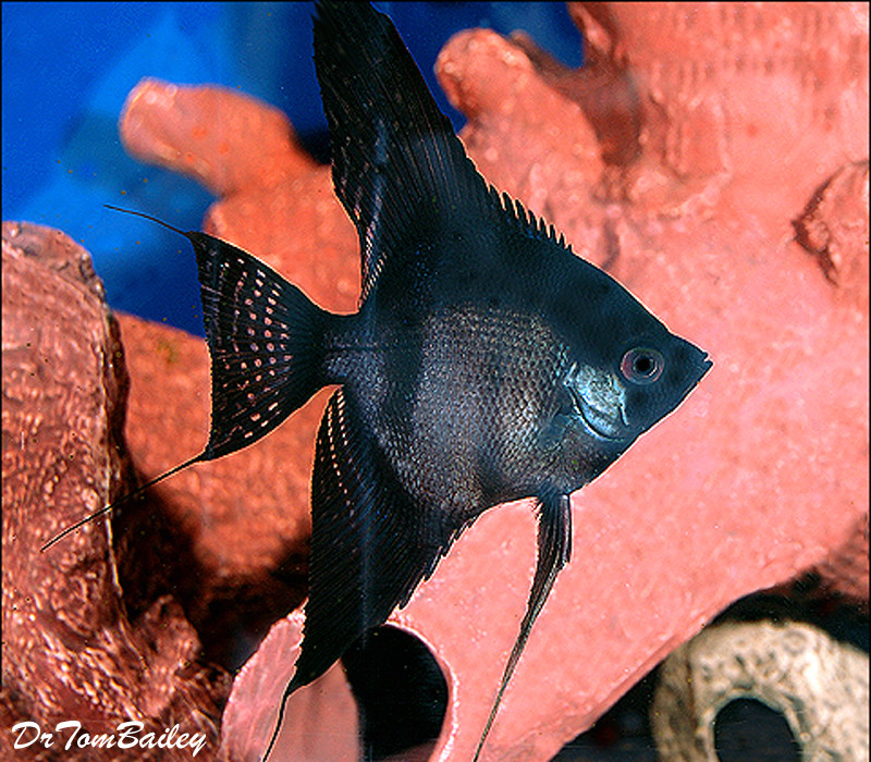 "Premium Black Angelfish, Size: 1"" to 1.5"""