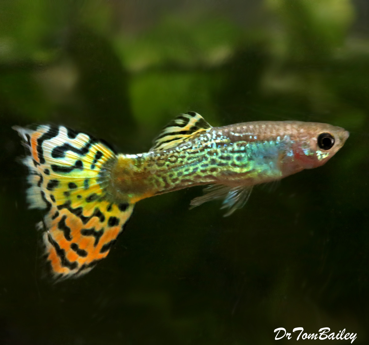 "Premium Male Variegated Cobra Fancy Guppy, 1"" to 1.5"" long"