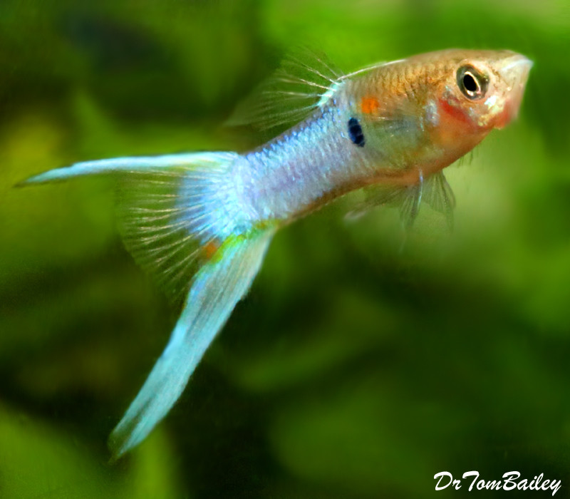 "Premium Royal Blue Lyretail Male Fancy Guppy, 1"" to 1.5"" long"