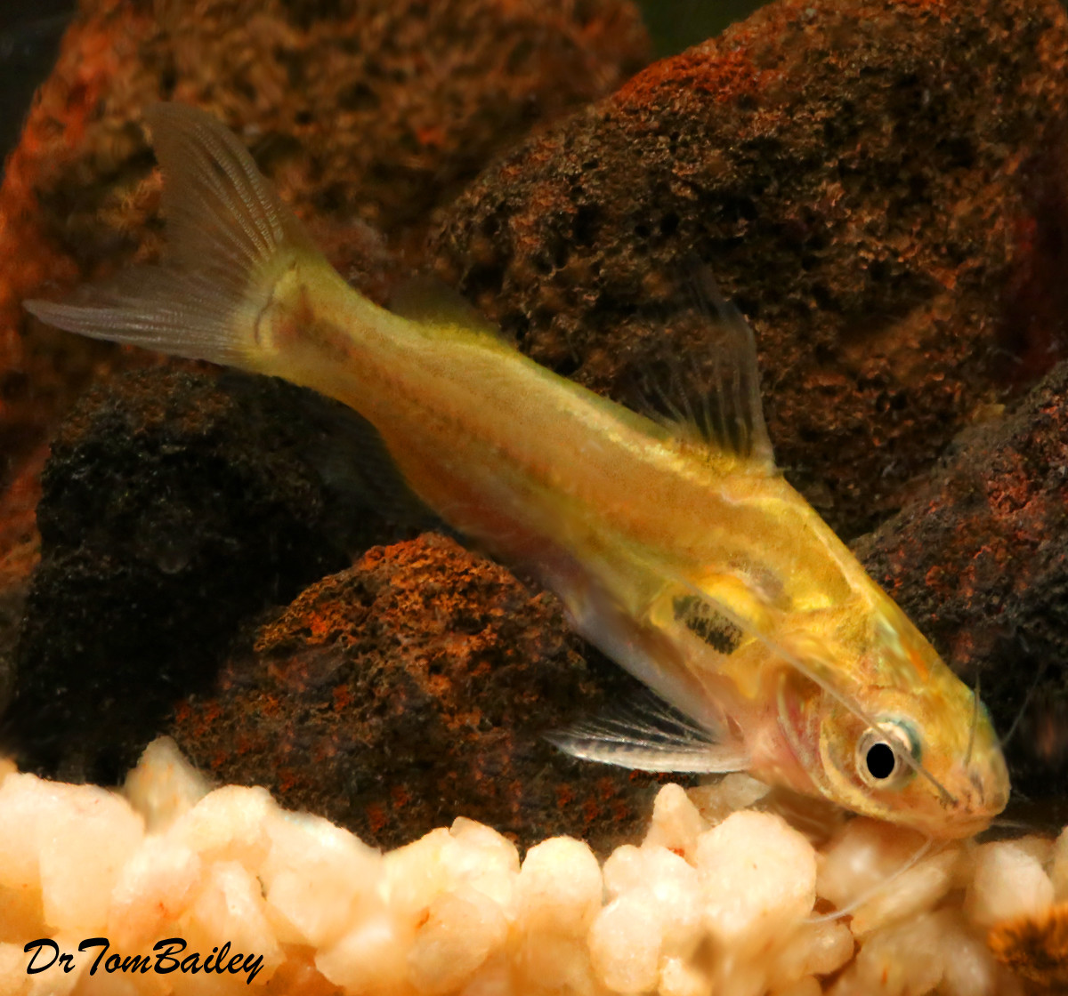 "Premium Rare Golden Mystus Tengara Catfish, 2.5"" to 3"" long"