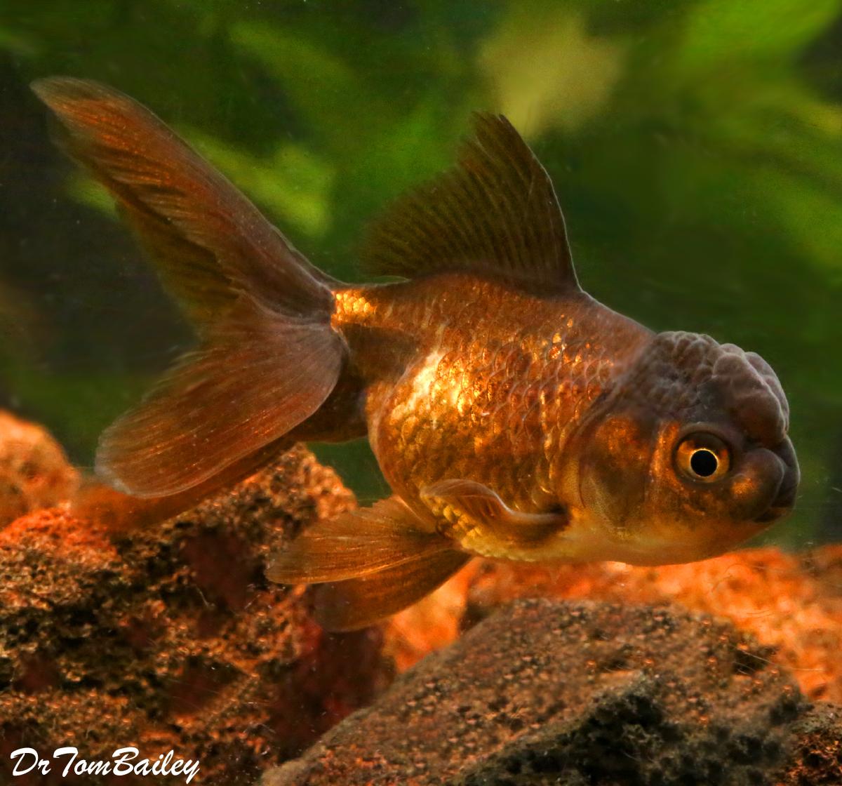 Αποτέλεσμα εικόνας για chocolate oranda goldfish