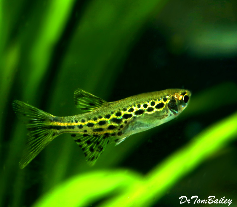 Premium, New and Rare, Gold Ring Danio, +1