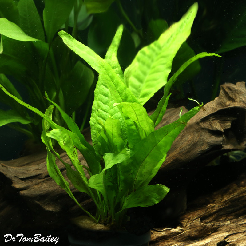 "Premium Java Fern, Potted Plant, 3"" to 4"" tall"
