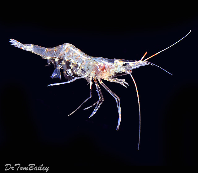"Premium Ghost Shrimp, 0.5"" to 1"" long"