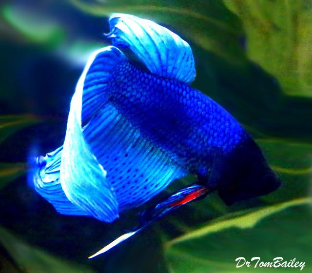 "Premium Male Blue Betta Fish, 2.5"" - 3"" long"
