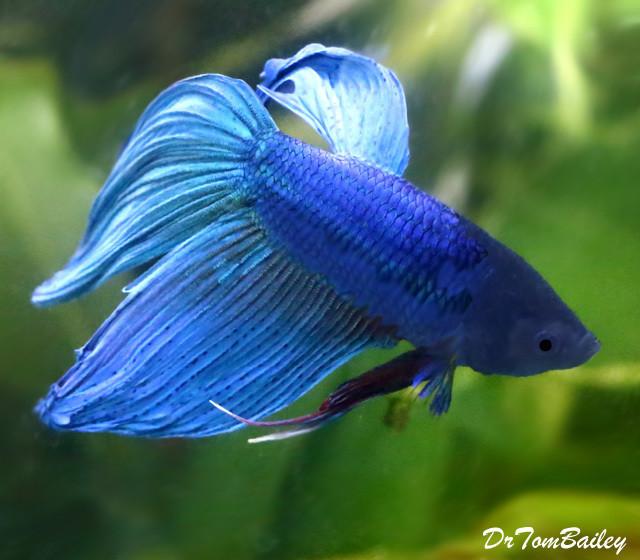 Premium Male Blue Betta Fish, 2.5