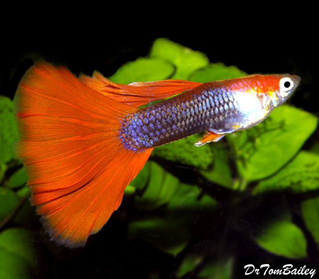 "Premium MALE Red Tuxedo Fancy Guppy, 1"" to 1.2"" long"