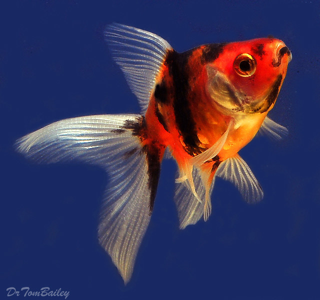 Premium Calico Fantail Goldfish, 1