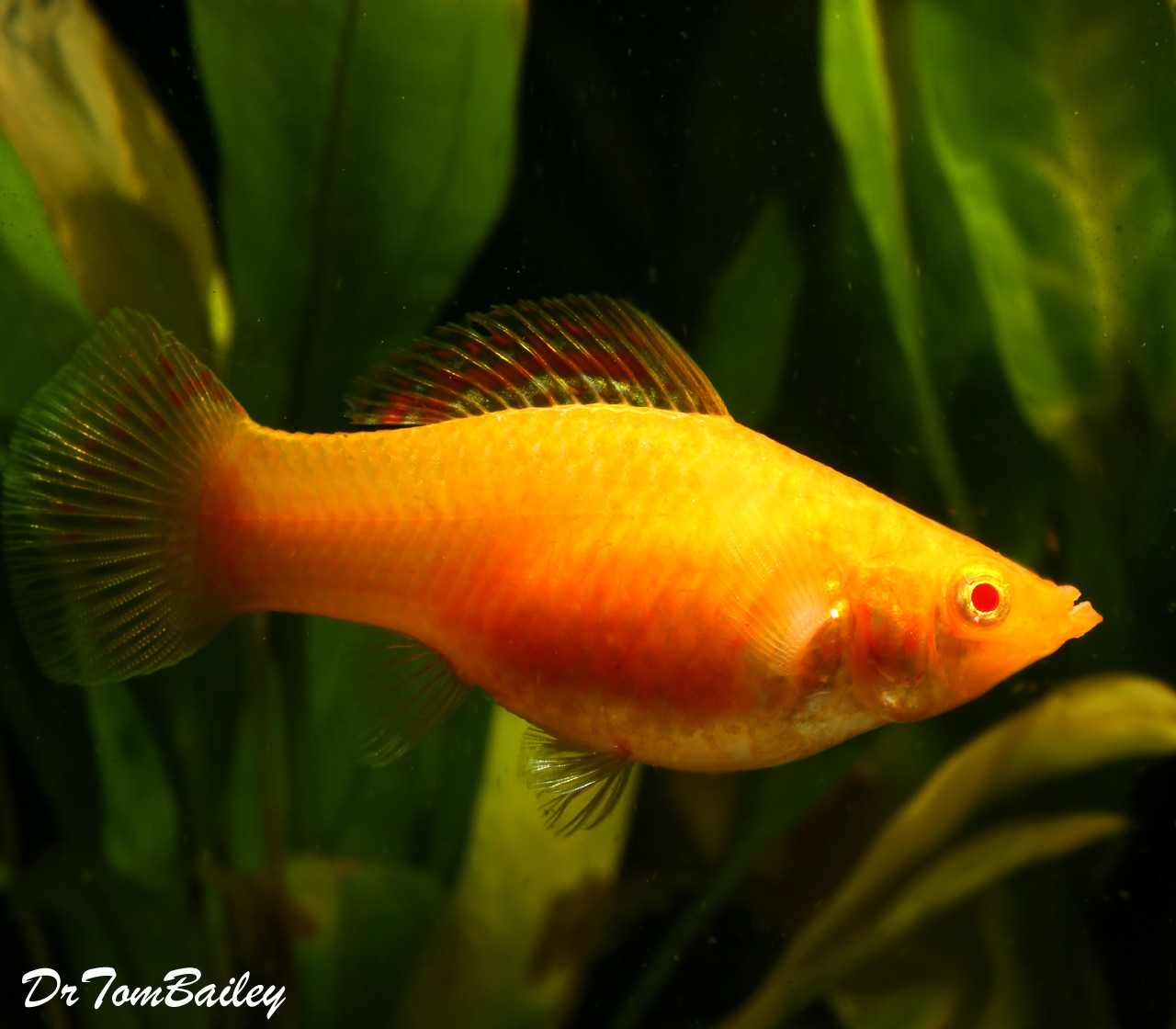 "Premium Rare Red Sunset FEMALE Sailfin Molly, 2.5 to 3"" long"