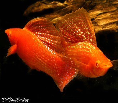 Premium MALE, Rare and New, Red Sunset Sailfin Molly, Size: 1.5