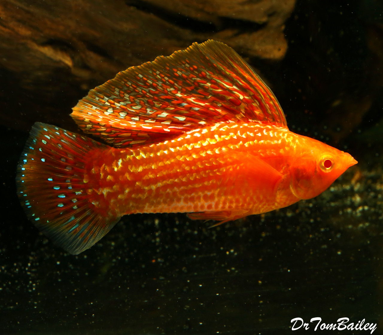 """Premium Rare Red Sunset MALE Sailfin Molly, 2.5 to 3"""" long"""