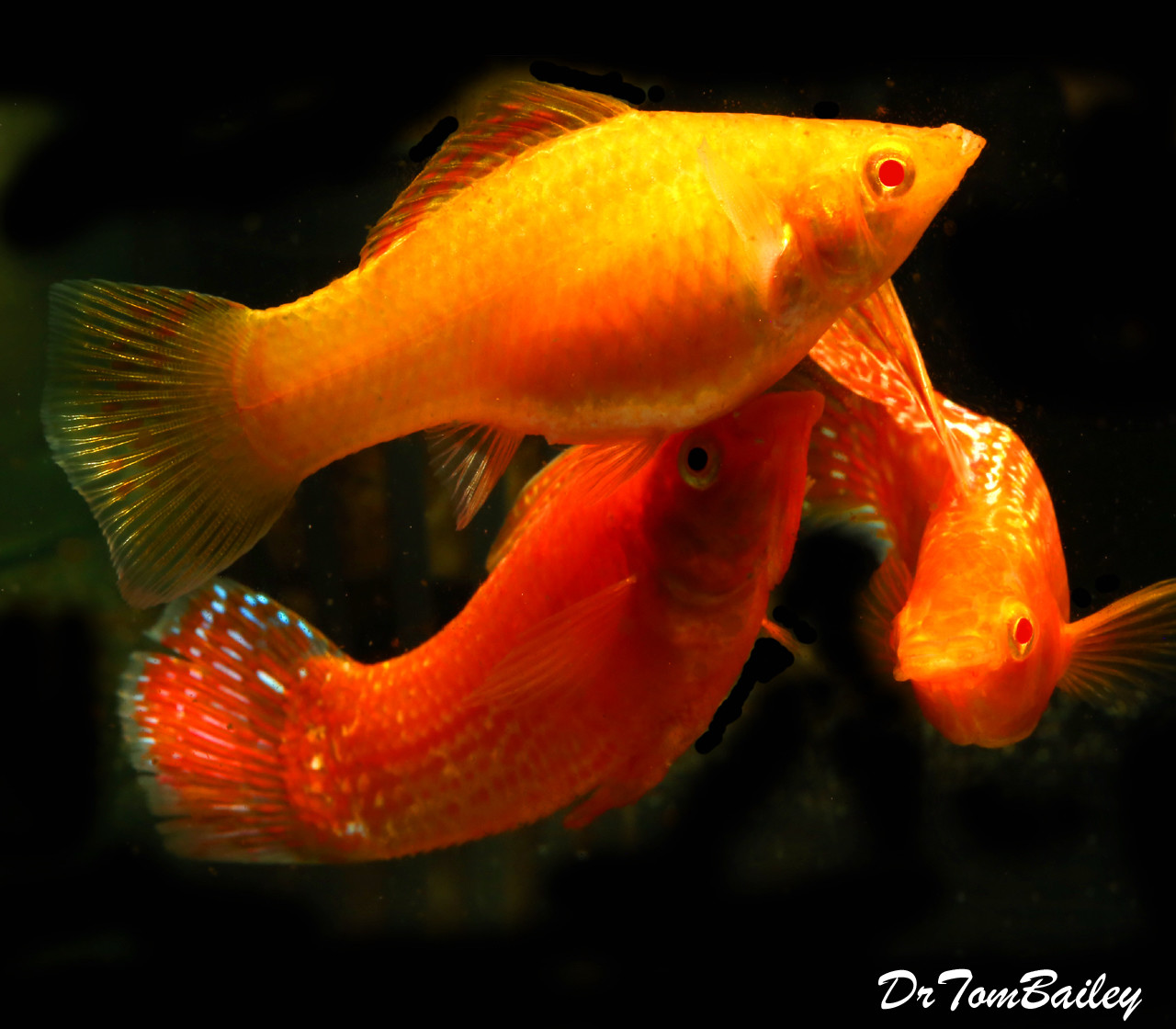 "BABY, Rare, Red Sunset Sailfin Molly, 0.25"" long, in our Tank D-61."