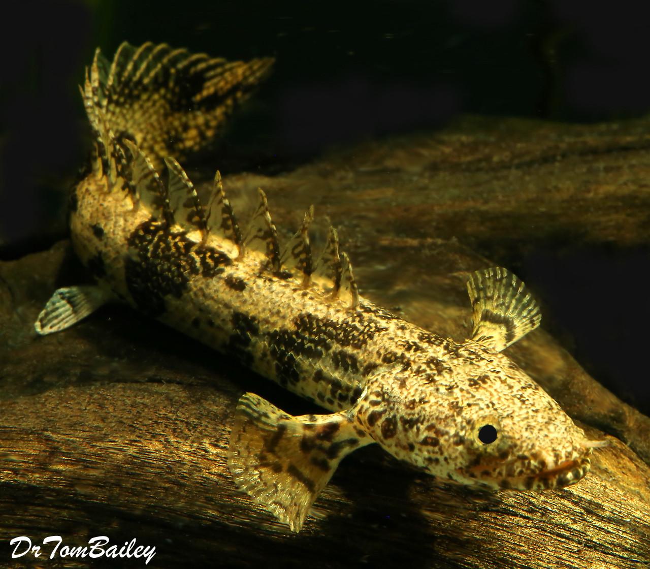 """Premium Rare Saddled Bichir, Polypterus endlicheri, 2.5"""" to 3"""" long"""