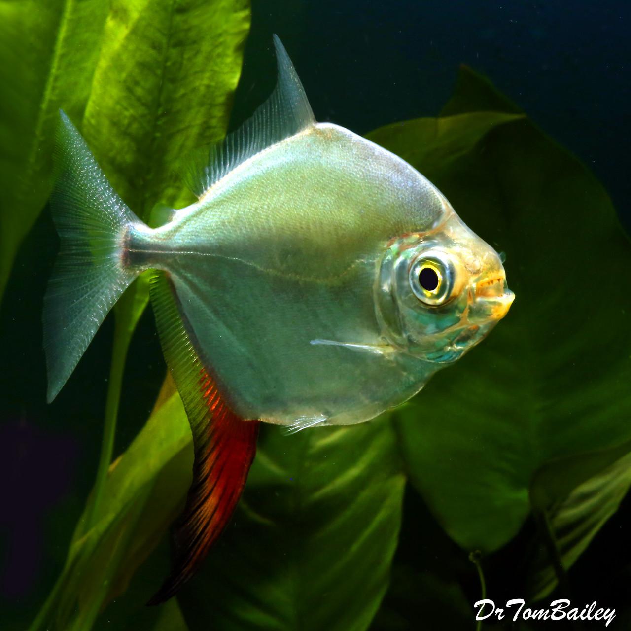 """Premium Red Hook Silver Dollar Fish, Myloplus Rubripinnis, 3"""" to 3.5"""" long"""