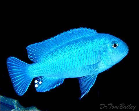 "Premium Socolofi Mbuna Cichlid from Lake Malawi, 1.5"" to 2"" long"