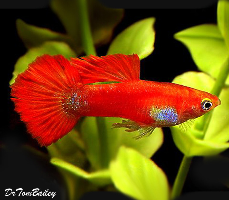 "Premium MALE Coral Red Fancy Guppy, 1"" to 1.2"" long"