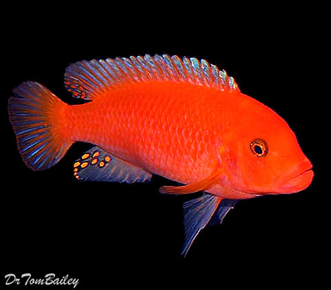 Premium Red Zebra Mbuna Cichlid from Lake Malawi in Africa, 1.5