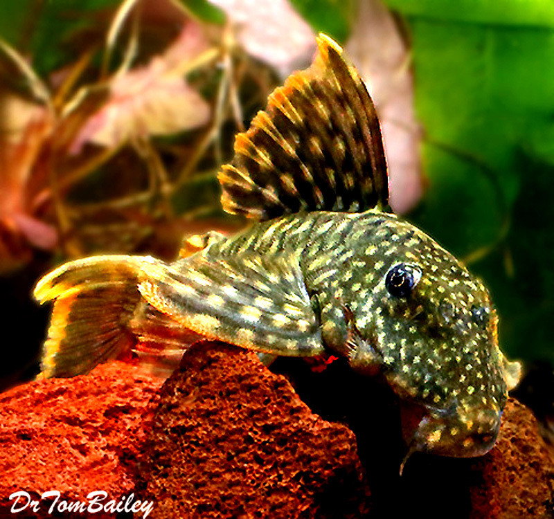 "Premium, New, and Rare Orange Seam Pleco, L106, 2"" to 2.5"" long"