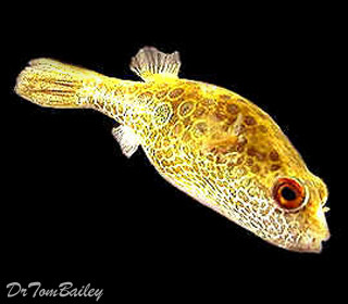 "Premium Ocellated Pufferfish, 2"" to 3"" long"