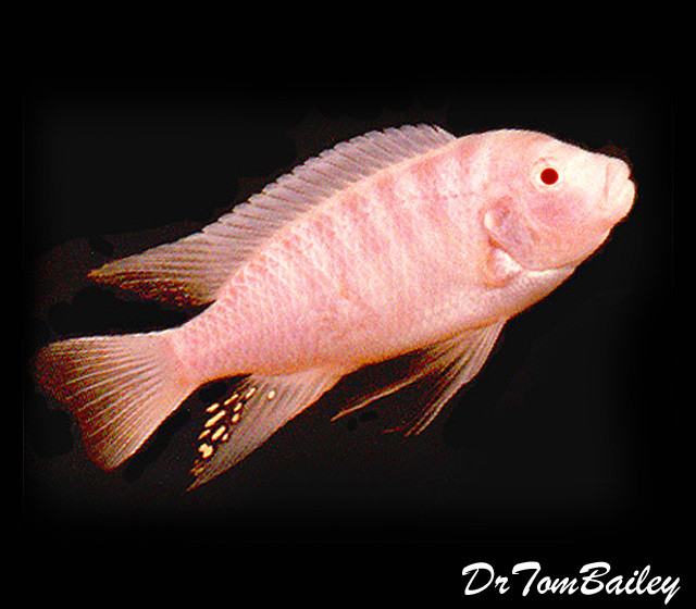 "Premium Albino Zebra Mbuna Cichlid from Lake Malawi in Africa, 1.5"" to 2"" long"