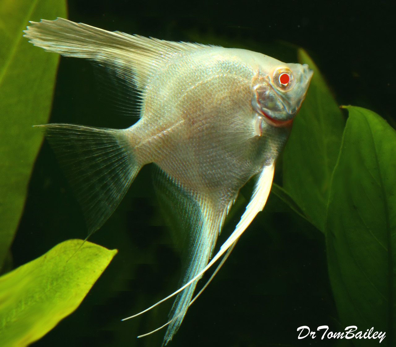 "Premium Albino Angelfish, 2"" to 2.5"" tall"