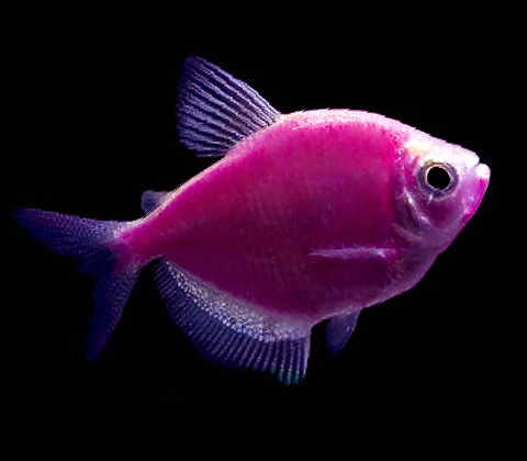 "Premium Galactic Very-Purple GloFish Tetra, 1"" to 1.5"" long"