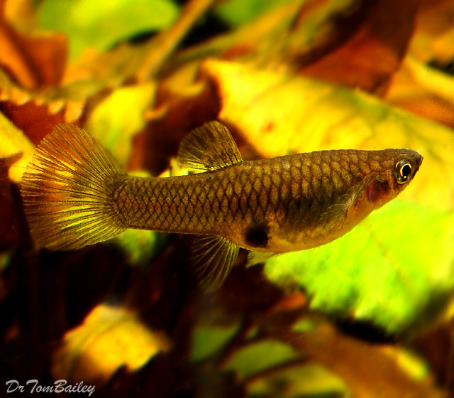"Premium New and Rare Female Picta Livebearer, 0.75"" to 1"" long"