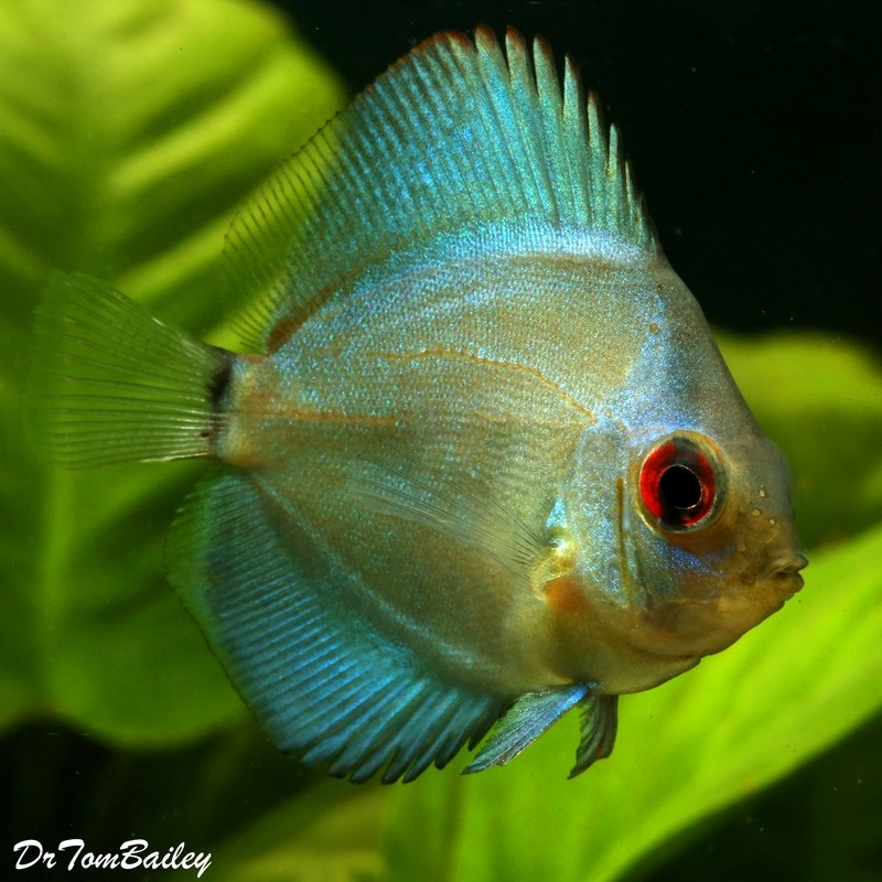 Premium New Blue Diamond Discus, 2